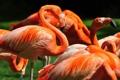 Картинка птицы, фламинго, клювы