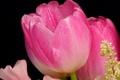 Картинка капли, роса, лепестки, тюльпан, цветы