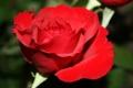 Картинка роза, цветок, лепестки, бутон
