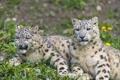 Картинка трава, кошки, пара, ирбис, снежный барс, одуванчики, ©Tambako The Jaguar