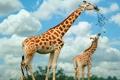 Картинка Семья, жирафы, питаются