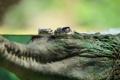Картинка вода, природа, крокодил