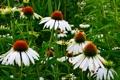Картинка листья, луг, эхинацея, поле, лепестки, цветы
