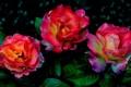 Картинка листья, розы, сад, клумба, природа
