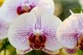 Картинка макро, ветка, белая, орхидея, фаленопсис, в крапинку