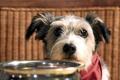 Картинка обед, взгляд, собака