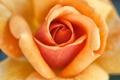 Картинка макро, роза, лепестки, кремовая