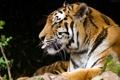 Картинка язык, кошка, тигр, профиль, амурский