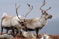 Картинка природа, Reindeer, Cairngorms