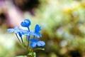 Картинка зелень, цветок, макро, синий, фон