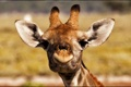 Картинка жираф, фон, мордочка, портрет