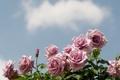 Картинка небо, цветы, розы, облако, розовые