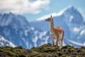 Картинка гуанако, Анды, горы, животное