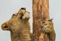 Картинка кошка, морда, лапа, бревно, львица