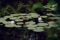 Картинка вода, цветы, природа, пруд, водяные лилии