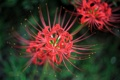 Картинка макро, цветы, лепестки, красные, пестики, ЛУКОРИС РАДИАТА