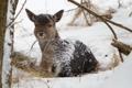 Картинка зима, природа, Joung deer