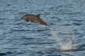 Картинка море, брызги, дельфин, прыжок