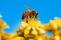 Картинка насекомое, пчела, небо, цветы