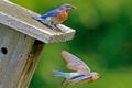 Картинка полет, птицы, цвет, клюв, насекомое, скворечник, домик