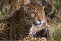 Картинка ягуар, взгляд, кошка