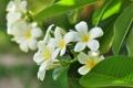Картинка листья, цветы, веточка, белая плюмерия