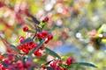 Картинка листья, макро, ягоды, дерево