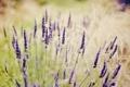 Картинка поле, трава, цветы, лаванда