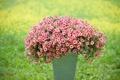 Картинка калибрахоа, ведёрко, трава, петуния, размытость, цветы