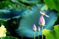 Картинка цветы, птичка, лотосы