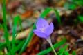 Картинка природа, весна, лепестки, крокус