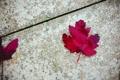 Картинка клен, красный, листок