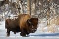 Картинка зима, природа, Bison