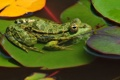 Картинка листья, вода, макро, пруд, лягушка