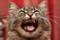 Картинка фон, крик, кошка