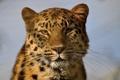 Картинка морда, портрет, дикая кошка, амурский леопард