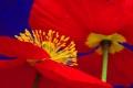 Картинка цветок, мак, лепестки, стебель, тычинки