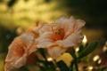 Картинка капли, оранжевая, роса, вода, цвета, цветок, природа