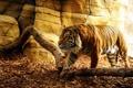 Картинка взгляд, тигр, хищник, пещера