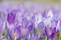 Картинка весна, цветы, первыцветы, макро, крокусы