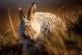 Картинка макро, природа, заяц