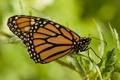 Картинка насекомое, крылья, окрас, бабочка