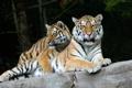 Картинка язык, кошка, тигр, камень, пара, амурский