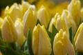 Картинка цветы, тюльпаны, жёлтые, марко