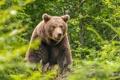 Картинка лес, лето, морда, заросли, бурый медведь