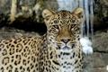 Картинка взгляд, морда, скалы, хищник, леопард