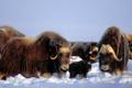 Картинка США, мех, Brooks Range, зима, овцебык, снег, Аляска