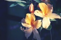 Картинка цветы, лилии, лепестки