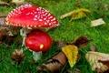Картинка осень, природа, листва, мухоморы, грибочки