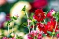Картинка цветение, лепестки, георгин, розовый
